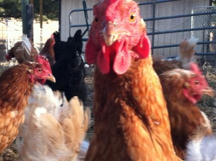 free range hens 2