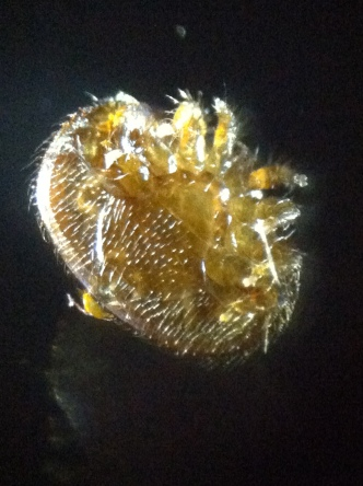 Ventral surface (underside) of normal varroa. Photo by T. Repas